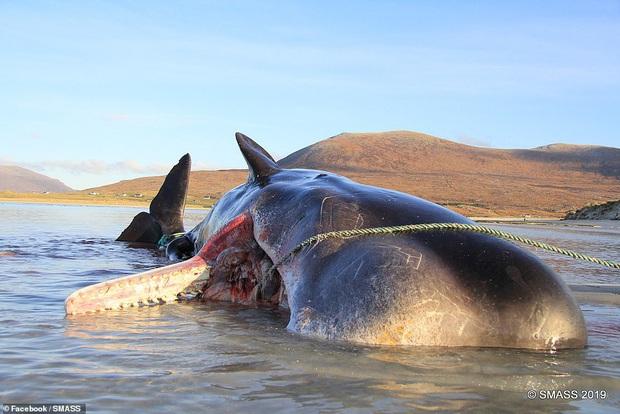 Các nhà khoa học mổ xác cá voi nặng gần 20 tấn chết trôi dạt vào bờ, phát hiện gần trăm kg rác thải nhựa cuộn thành quả bóng khổng lồ trong bụng - Ảnh 1.