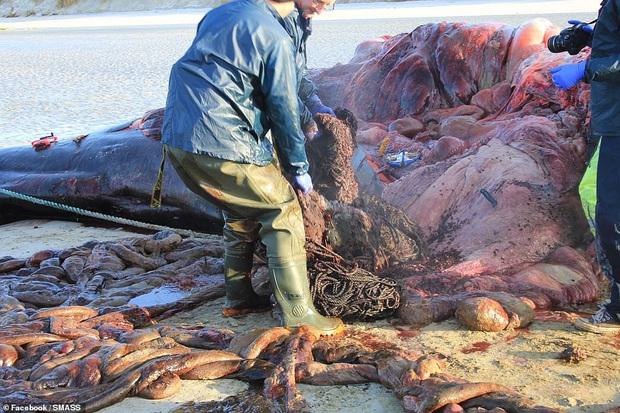 Các nhà khoa học mổ xác cá voi nặng gần 20 tấn chết trôi dạt vào bờ, phát hiện gần trăm kg rác thải nhựa cuộn thành quả bóng khổng lồ trong bụng - Ảnh 5.