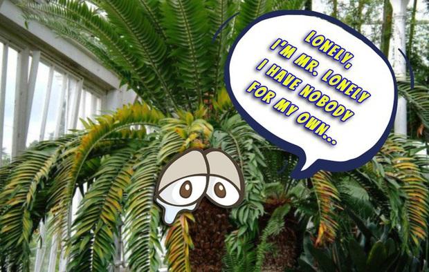 Chuyện chàng cây cô độc nhất thế gian đang phải đối mặt với nguy cơ tuyệt chủng nếu không tìm được bạn gái - Ảnh 1.