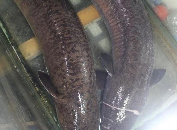 """Bắt được 2 con cá lệch """"khủng"""" dài 1,6 m, nặng 16 kg mỗi con, bán gần 30 triệu đồng - Ảnh 1."""
