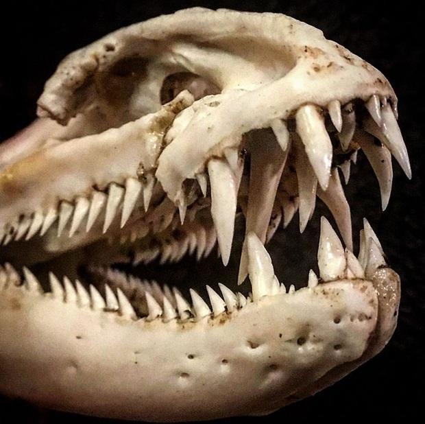 Loạt ảnh những con thủy quái sống quanh quẩn dưới nước với hàm răng chi chít và nhọn hoắt mà khi nhìn vào đã thấy gai hết cả người - Ảnh 6.