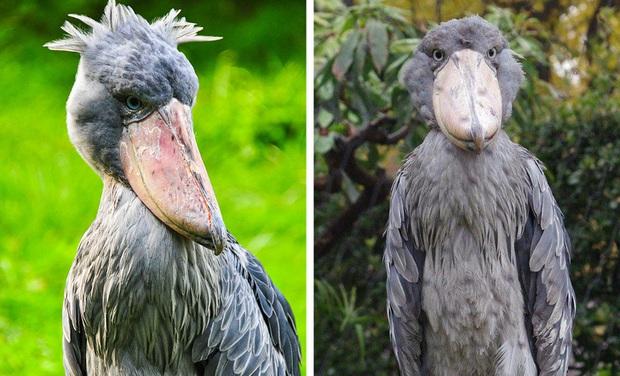 Những loài động vật bị lỗi ngay từ khâu thiết kế của mẹ tự nhiên  - Ảnh 17.