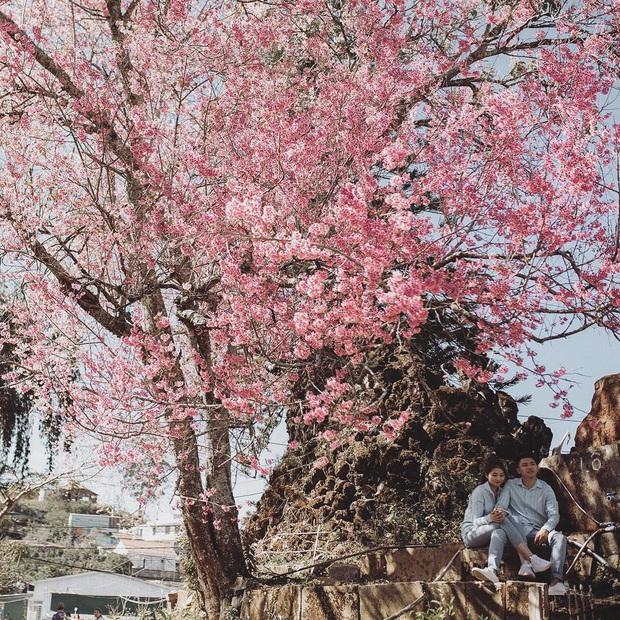 """Góc lừa tình: Dù chưa tới mùa mai anh đào nhưng nhiều fanapge đã đăng thông tin """"hoa nở rộ khắp Đà Lạt"""" gây phẫn nộ - Ảnh 26."""
