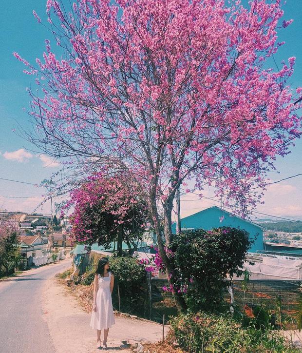 """Góc lừa tình: Dù chưa tới mùa mai anh đào nhưng nhiều fanapge đã đăng thông tin """"hoa nở rộ khắp Đà Lạt"""" gây phẫn nộ - Ảnh 3."""