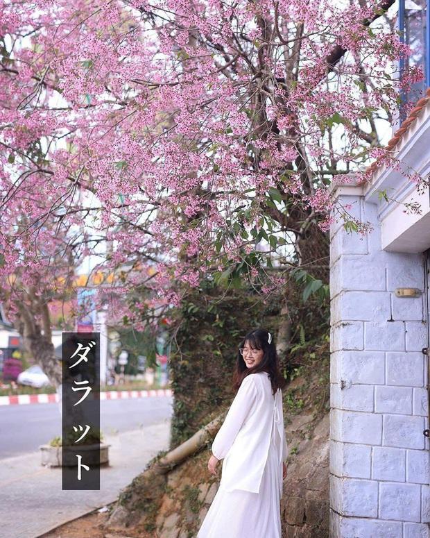 """Góc lừa tình: Dù chưa tới mùa mai anh đào nhưng nhiều fanapge đã đăng thông tin """"hoa nở rộ khắp Đà Lạt"""" gây phẫn nộ - Ảnh 25."""