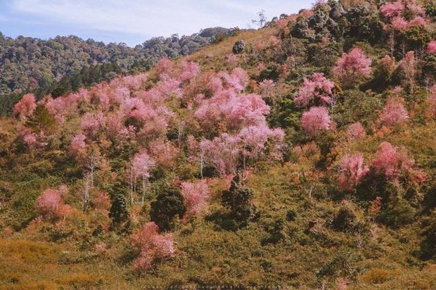 """Góc lừa tình: Dù chưa tới mùa mai anh đào nhưng nhiều fanapge đã đăng thông tin """"hoa nở rộ khắp Đà Lạt"""" gây phẫn nộ - Ảnh 17."""