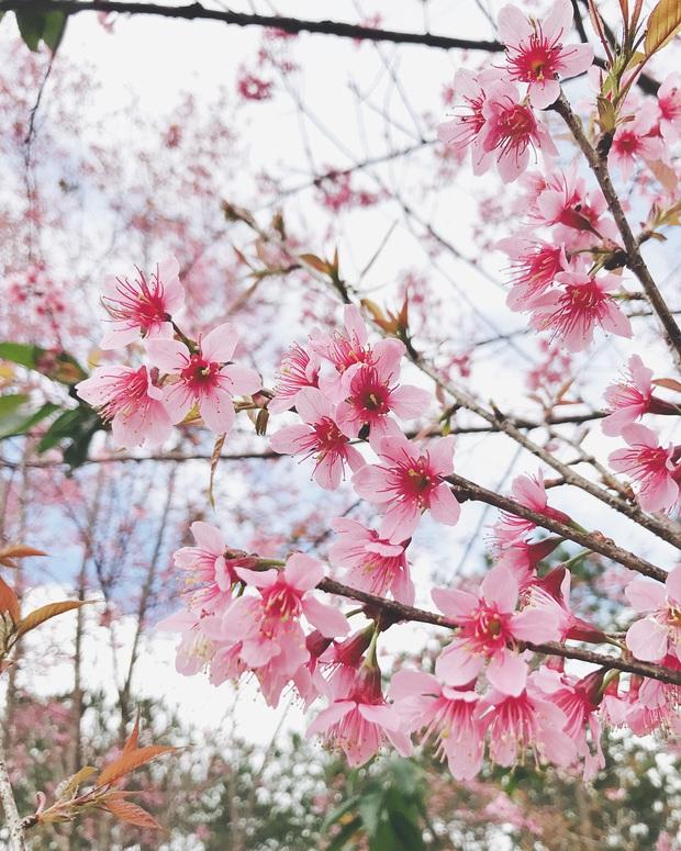"""Góc lừa tình: Dù chưa tới mùa mai anh đào nhưng nhiều fanapge đã đăng thông tin """"hoa nở rộ khắp Đà Lạt"""" gây phẫn nộ - Ảnh 6."""