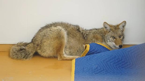 Tông phải một con chó trên đường, ông chú định mang về nuôi nhưng sau đó mới tá hỏa phát hiện nó là... sói - Ảnh 2.