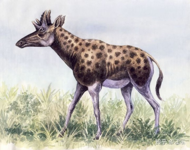 Phát hiện mới, Trung Quốc cũng đã từng tồn tại loài hươu cao cổ với cái đầu vô cùng kì dị - Ảnh 1.
