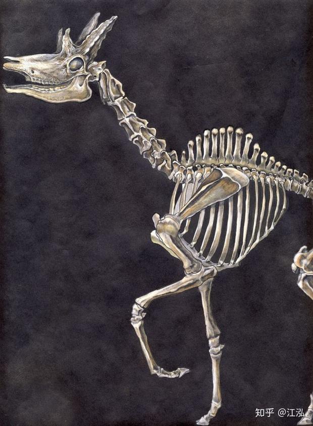 Phát hiện mới, Trung Quốc cũng đã từng tồn tại loài hươu cao cổ với cái đầu vô cùng kì dị - Ảnh 6.