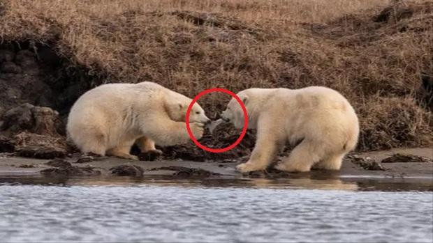 Gấu Bắc Cực đói đánh nhau giành rác nhựa - Cảnh tượng xót xa về ảnh hưởng của ô nhiễm môi trường đến các loài động vật - Ảnh 1.
