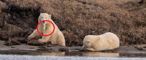 Gấu Bắc Cực đói đánh nhau giành rác nhựa - Cảnh tượng xót xa về ảnh hưởng của ô nhiễm môi trường đến các loài động vật - Ảnh 2.