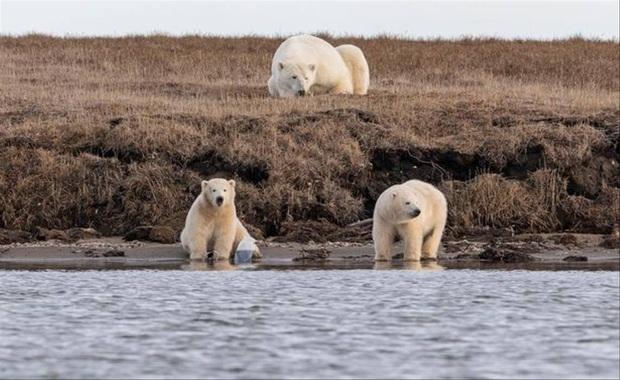 Gấu Bắc Cực đói đánh nhau giành rác nhựa - Cảnh tượng xót xa về ảnh hưởng của ô nhiễm môi trường đến các loài động vật - Ảnh 4.