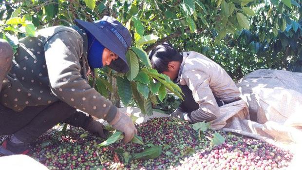 Lênh đênh phận người vượt hàng trăm cây số hái cà phê thuê kiếm Tết - Ảnh 1.