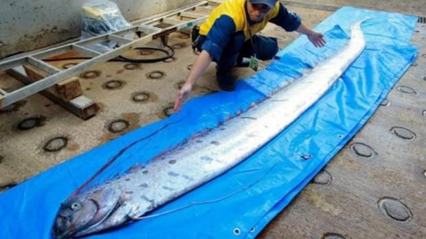Xác cá 'rồng biển' khiến người dân Nhật Bản lo lắng  - Ảnh 1.