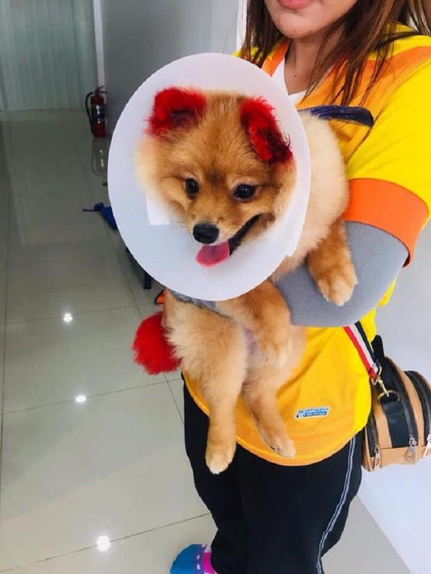 Ăn theo trào lưu nhuộm tai chó màu hồng, cô chủ Thái Lan bị chỉ trích vì khiến thú cưng dị ứng đến rụng cả tai - Ảnh 3.