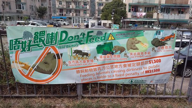 Lợn rừng xuất hiện từng đàn, chạy điên cuồng trong khu dân cư, sân bay và trung tâm thương mại ở Hồng Kông - Ảnh 5.