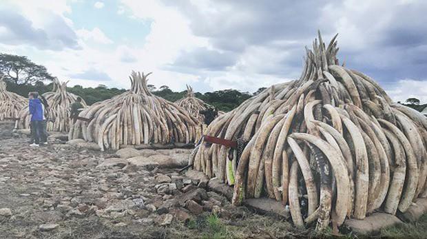 Bốn quốc gia châu Phi muốn giải phóng số lượng ngà voi khổng lồ bị tồn kho - Ảnh 1.