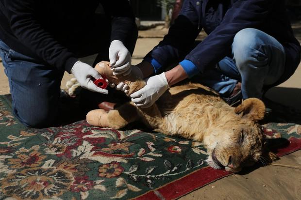 Cắt hết móng sư tử để trẻ em có thể chơi cùng, ban quản lý sở thú bị chỉ trích dữ dội - Ảnh 1.