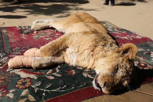 Cắt hết móng sư tử để trẻ em có thể chơi cùng, ban quản lý sở thú bị chỉ trích dữ dội - Ảnh 2.