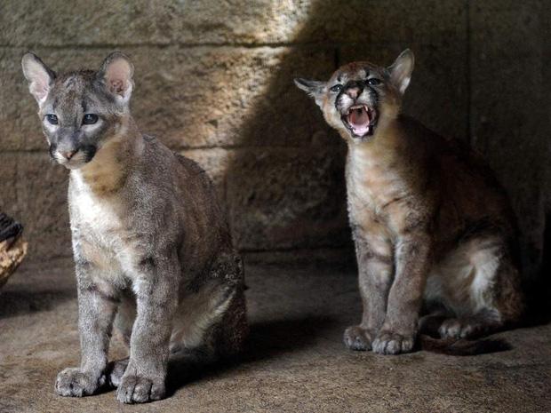 Chú báo sư tử được đôi vợ chồng Nga rước về nuôi rồi trở thành 'hot pet' đình đám trên MXH - Ảnh 1.
