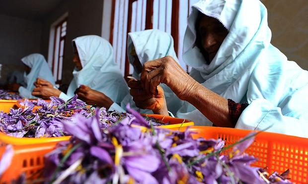 Saffron không tự nhiên mà đắt, cách người ta sản xuất ra nó cầu kì đến thế này cơ mà - Ảnh 1.