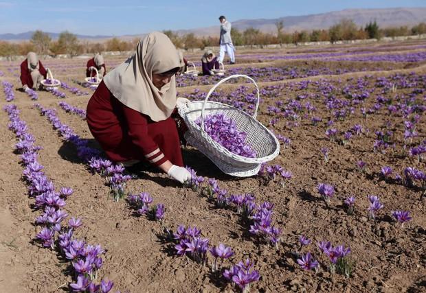Saffron không tự nhiên mà đắt, cách người ta sản xuất ra nó cầu kì đến thế này cơ mà - Ảnh 2.