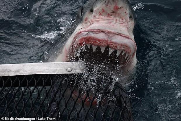 Thợ lặn bất chấp nguy hiểm chụp cận cảnh hàm cá mập ở khoảng cách vài chục centimet - Ảnh 3.