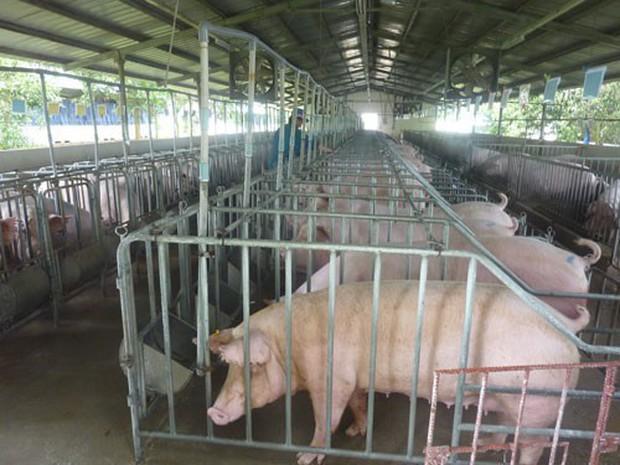 Dịch tả lợn có lây sang người?  - Ảnh 1.