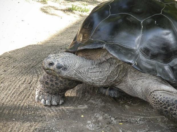 Sau hơn 1 thế kỉ chung sống bình yên, 2 cụ rùa khổng lồ bỗng quay sang cắn nhau đến vỡ mai chảy máu - Ảnh 3.