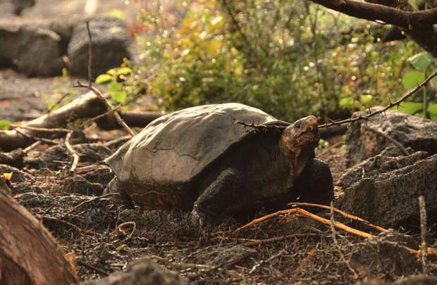 Rùa khổng lồ tưởng tuyệt chủng 100 năm trước nay tái xuất giang hồ trong sự ngỡ ngàng của khoa học - Ảnh 2.