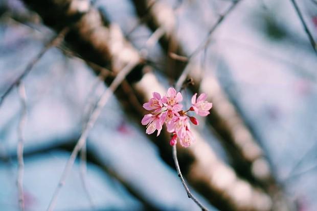 Mai anh đào nở muộn đang nhuộm hồng Đà Lạt - lại có cớ để lên đây ểnh ương ngắm hoa rồi! - Ảnh 5.