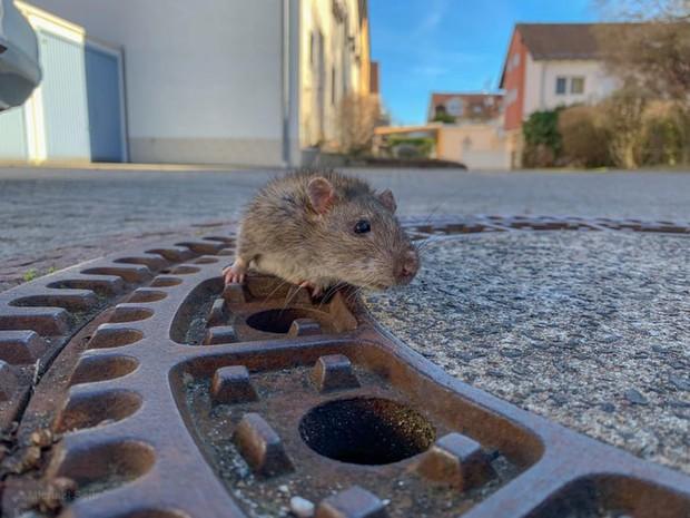 7 nhân viên cứu hộ tụ tập giải cứu con chuột vì nó béo quá không chui được vào cống - Ảnh 2.