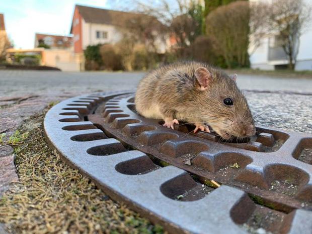 7 nhân viên cứu hộ tụ tập giải cứu con chuột vì nó béo quá không chui được vào cống - Ảnh 3.