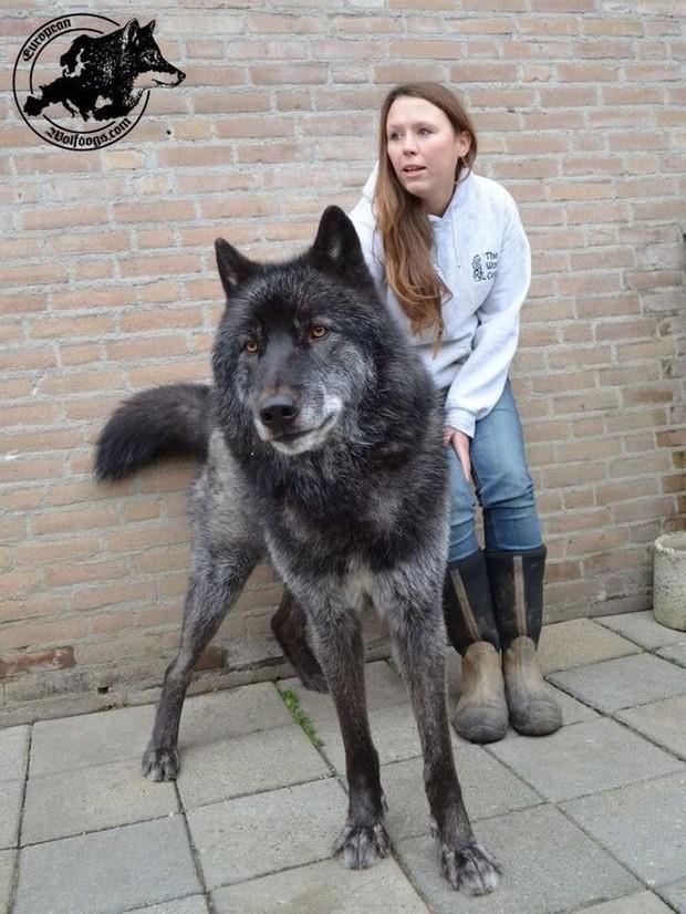 Chùm ảnh: 15 điều cần biết nếu bạn muốn nuôi một chú chó-lai-sói siêu đáng yêu trong nhà - Ảnh 2.