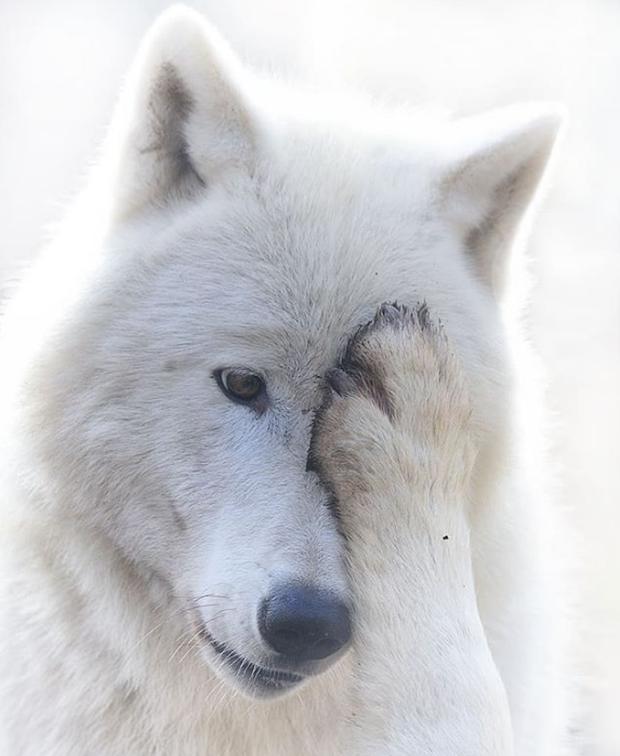 Chùm ảnh: 15 điều cần biết nếu bạn muốn nuôi một chú chó-lai-sói siêu đáng yêu trong nhà - Ảnh 14.