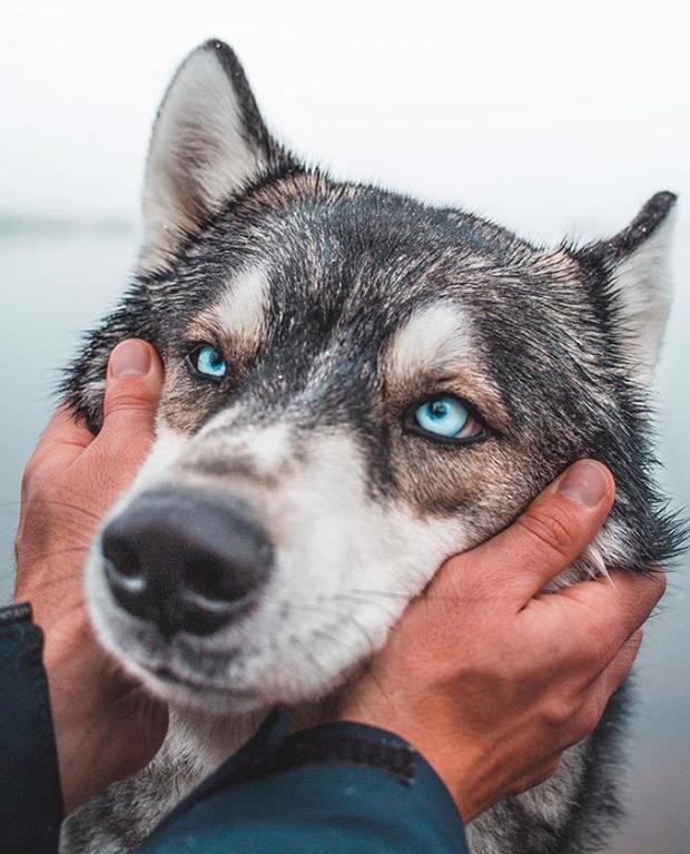 Chùm ảnh: 15 điều cần biết nếu bạn muốn nuôi một chú chó-lai-sói siêu đáng yêu trong nhà - Ảnh 10.