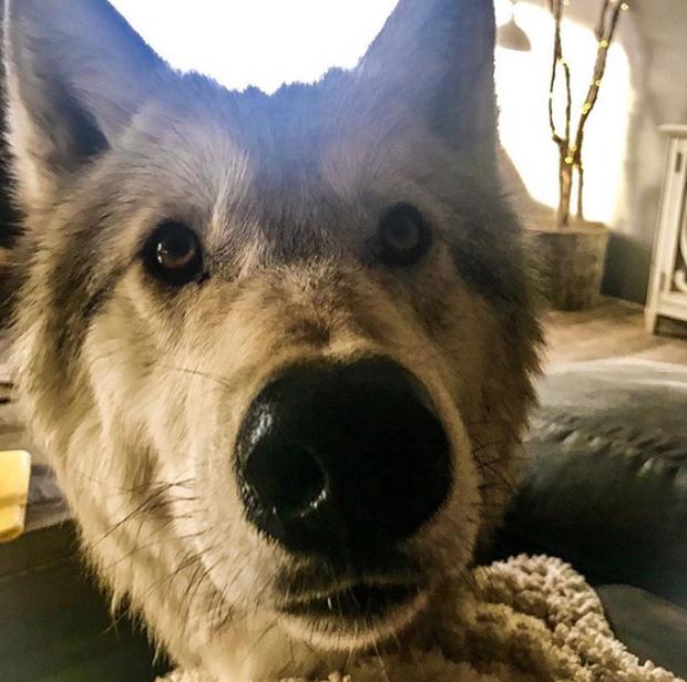 Chùm ảnh: 15 điều cần biết nếu bạn muốn nuôi một chú chó-lai-sói siêu đáng yêu trong nhà - Ảnh 30.
