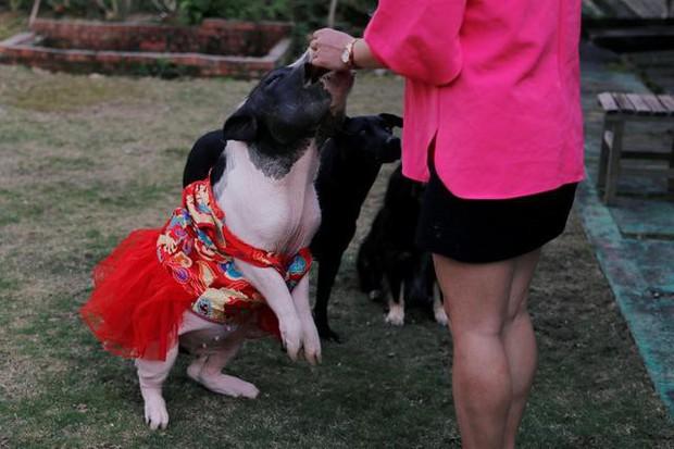 Năm Hợi, giới trẻ Đài Loan đua nhau nuôi lợn cảnh - Ảnh 2.
