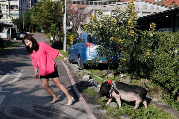 Năm Hợi, giới trẻ Đài Loan đua nhau nuôi lợn cảnh - Ảnh 1.