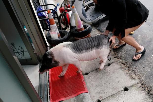 Năm Hợi, giới trẻ Đài Loan đua nhau nuôi lợn cảnh - Ảnh 3.