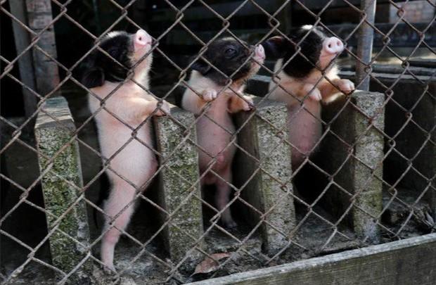Năm Hợi, giới trẻ Đài Loan đua nhau nuôi lợn cảnh - Ảnh 5.