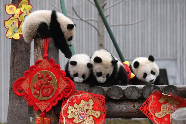 Linh vật lợn khắp thế giới vẫy chào năm Kỷ Hợi 2019: Vừa đáng yêu lại hài hước miễn chê - Ảnh 6.