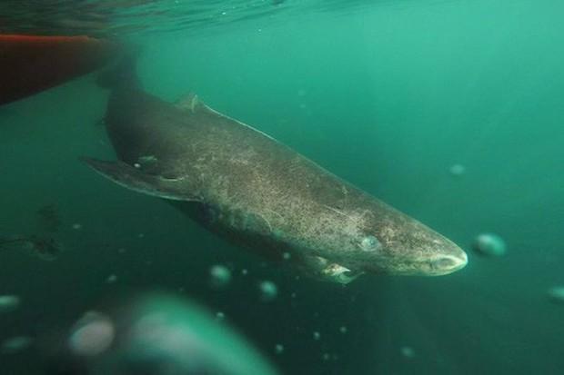 Lão cá mập sống tới 272 năm - Ảnh 2.