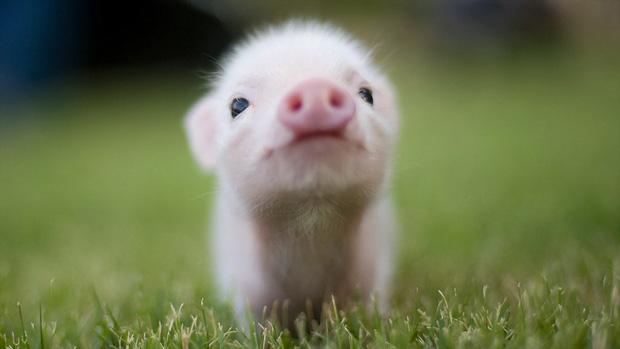 Khác với Tiếng Việt, trong Tiếng Anh có rất nhiều câu thành ngữ ví von hay và dễ thương về con lợn - Ảnh 3.