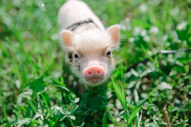 Khác với Tiếng Việt, trong Tiếng Anh có rất nhiều câu thành ngữ ví von hay và dễ thương về con lợn - Ảnh 1.