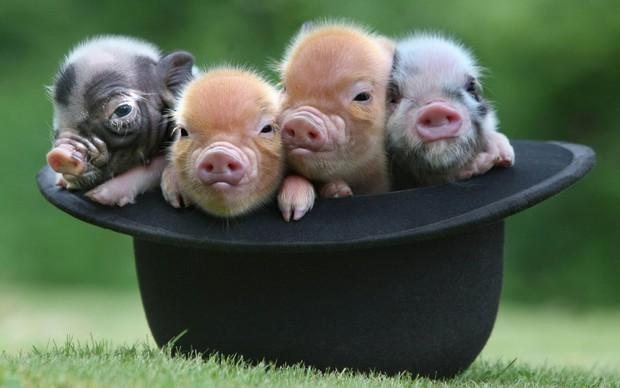 Khác với Tiếng Việt, trong Tiếng Anh có rất nhiều câu thành ngữ ví von hay và dễ thương về con lợn - Ảnh 2.
