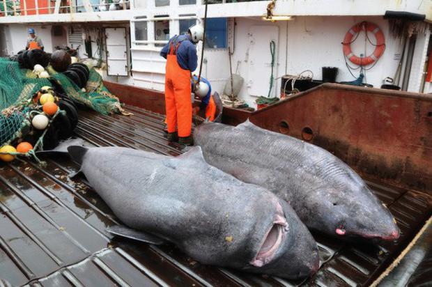 Lão cá mập sống tới 272 năm  - Ảnh 4.