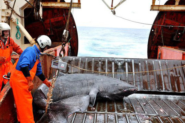 Lão cá mập sống tới 272 năm - Ảnh 5.