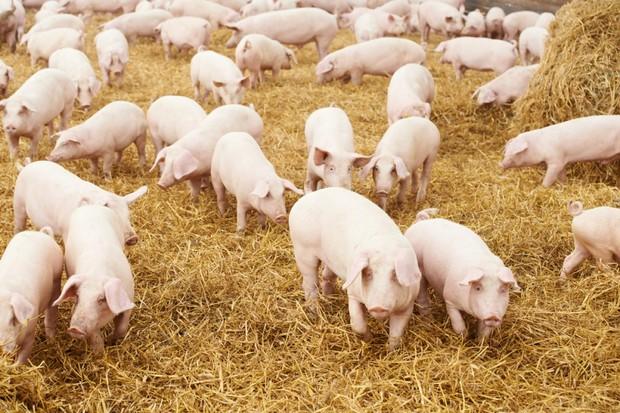 Nhân năm Kỷ Hợi, cùng thử xem bạn biết được bao nhiêu từ Tiếng Anh chỉ con lợn ngoài Pig - Ảnh 1.